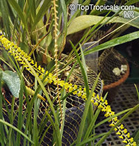 Dendrochilum filiforme, Golden Chain Orchid  Click to see full-size image