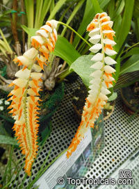 Dendrochilum magnum, Large Dendrochilum