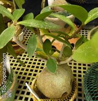 Hydnophytum sp., Ant PlantClick to see full-size image