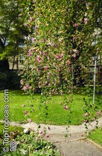 Lespedeza bicolor, Shrubby Bushclover  Click to see full-size image