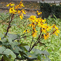 Ligularia sp., Leopard Plant  Click to see full-size image