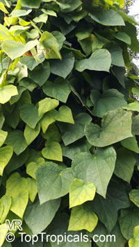 Menispermum dauricum, Menispermum, MoonseedClick to see full-size image