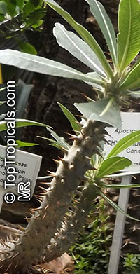 Pachypodium sp., Pachypodium