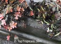Pellionia sp., Pellionia  Click to see full-size image