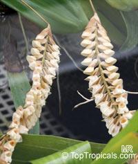 Pholidota imbricata, Coelogyne imbricata, Pholidota bracteata, Pholidota crotalina, Necklace Orchid, Rattlesnake OrchidClick to see full-size image