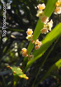 Phyllanthus latifolius, Phyllanthus  Click to see full-size image