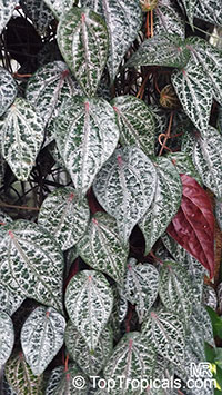 Piper ornatum, Piper crocatum, Celebes pepper  Click to see full-size image