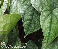 Piper sylvaticum, Chavica sylvatica, Pahari Pipul, Mountain Long Pepper  Click to see full-size image