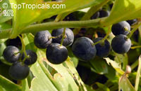 Polygonatum sp., Solomon's Seal  Click to see full-size image