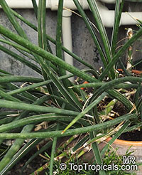 Sansevieria gracilis, Snake Plant
