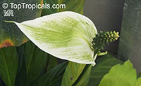 Spathiphyllum sp., Peace Lily  Click to see full-size image
