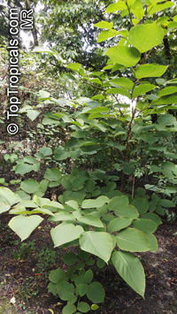 Styrax obassia, Fragrant Snowbell  Click to see full-size image