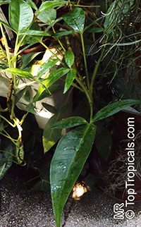Syngonium sp., SyngoniumClick to see full-size image