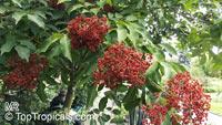 Tetradium daniellii, Euodia daniellii, Bee-bee Tree, Korean Evodia  Click to see full-size image