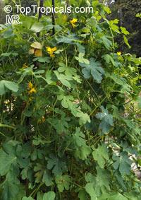 Tropaeolum peregrinum, Canarybird Flower, Canarybird Vine, Canary Nasturtium  Click to see full-size image