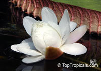 Victoria cruziana, Santa Cruz Water LilyClick to see full-size image