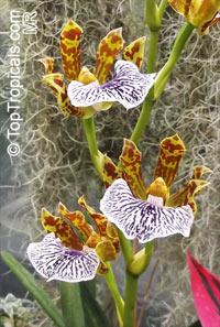 Zygopetalum sp., Zygopetalum  Click to see full-size image