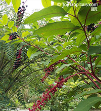 Phytolacca americana , American Pokeweed