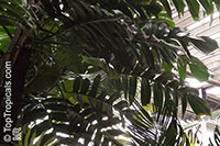 Rhaphidophora tetrasperma, Mini Monstera