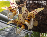 Stanhopea sp., Stanhopea