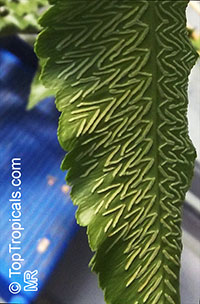 Unknown 98, Fern  Click to see full-size image