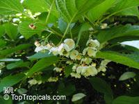 Actinidia kolomikta, Kiwi  Click to see full-size image