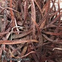 Aloe sp., Aloe  Click to see full-size image