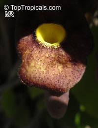 Aristolochia macrophylla, Aristolochia durior, Dutchman's Pipe  Click to see full-size image