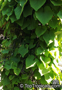 Aristolochia manchuriensis, Manchurian Pipevine  Click to see full-size image