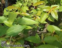 Aristotelia chilensis, Aristotelia macqui, Maqui, Chilean Wineberry  Click to see full-size image