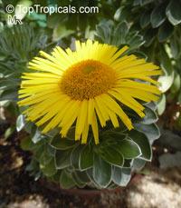 Asteriscus sericeus, Nauplius sericeus , Canary Island Daisy  Click to see full-size image