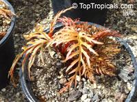 Begonia bipinnatifida , Fern Leaf Begonia  Click to see full-size image