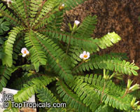 Biophytum sensitivum, Oxalis sensitiva, Biophytum, Life PlantClick to see full-size image