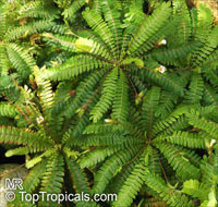 Biophytum sensitivum, Oxalis sensitiva, Biophytum, Life Plant  Click to see full-size image