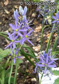 Camassia sp., Indian Hyacinth, Camas, Quamash,Click to see full-size image