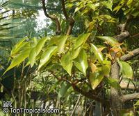 Cinnamomum camphora, Camphor Tree, Camphor Laurel  Click to see full-size image