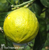 Citrus bergamia, Bergamot orange  Click to see full-size image
