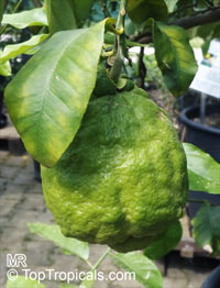 Citrus medica, Citron  Click to see full-size image
