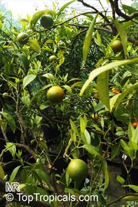 Citrus reticulata, Mandarin Orange  Click to see full-size image