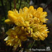 Conostylis aculeata, Prickly ConostylisClick to see full-size image