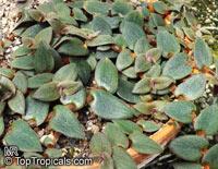 Cyanotis beddomei, Cyanotis kewensis, Teddy Bear VineClick to see full-size image