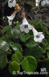 Deinostigma tamiana, Primulina tamiana, Chirita tamiana, Vietnamese Violet  Click to see full-size image