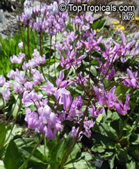 Dodecatheon meadia, Shooting Star, Pride of Ohio, Roosterheads, Prairie Pointers  Click to see full-size image