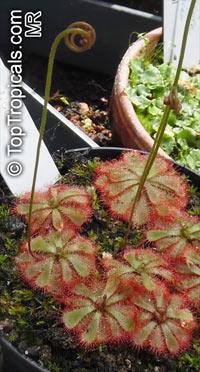 Drosera spathulata - Sundew  Click to see full-size image