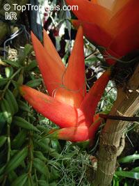 Freycinetia insignis, Flowering Pandanus, Climbing PandanusClick to see full-size image