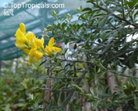 Genista canariensis, Cytisus canariensis, Canary Broom  Click to see full-size image