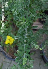 Genista canariensis, Cytisus canariensis, Canary BroomClick to see full-size image
