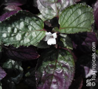 Hemigraphis alternata, Hemigraphis colorata, Red Ivy, Red Flame Ivy, Waffle plant  Click to see full-size image