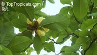 Magnolia obovata, Japanese Bigleaf Magnolia, Japanese Whitebark MagnoliaClick to see full-size image