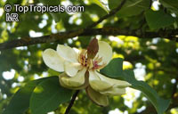 Magnolia obovata, Japanese Bigleaf Magnolia, Japanese Whitebark Magnolia  Click to see full-size image